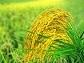 5月8日全国加工企业优质稻米价格