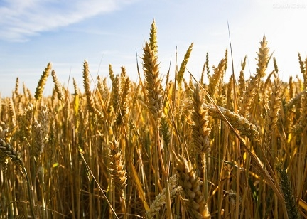 种下优质麦 农民实惠多