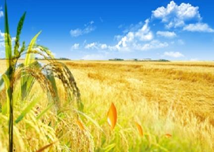 今年两万亩海水稻在全国试种