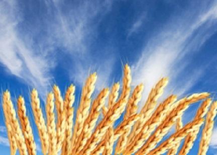 河南强筋优质小麦亩产再创佳绩