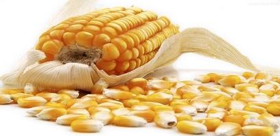 国内玉米价格全面上行 进口量同比大增