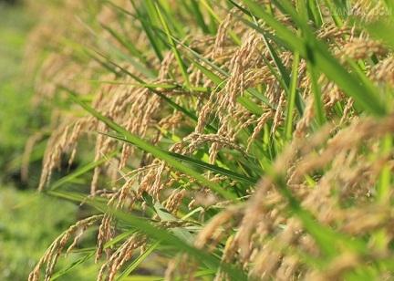 6月8日吉林地区稻米价格行情