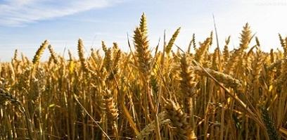 省农委小麦抢收指挥部研究部署小麦抢收工作