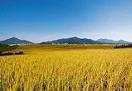后市稻米或将稳中趋升