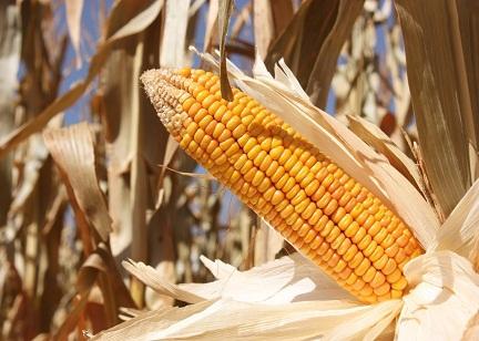 受天气影响CBOT玉米期货逼近一年高位