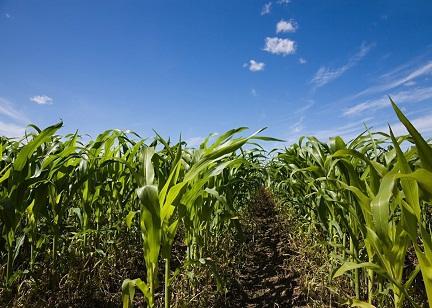 山东粮食总产稳定在900亿斤以上