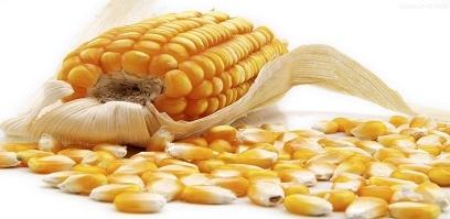 天气回暖或提振玉米售粮进度